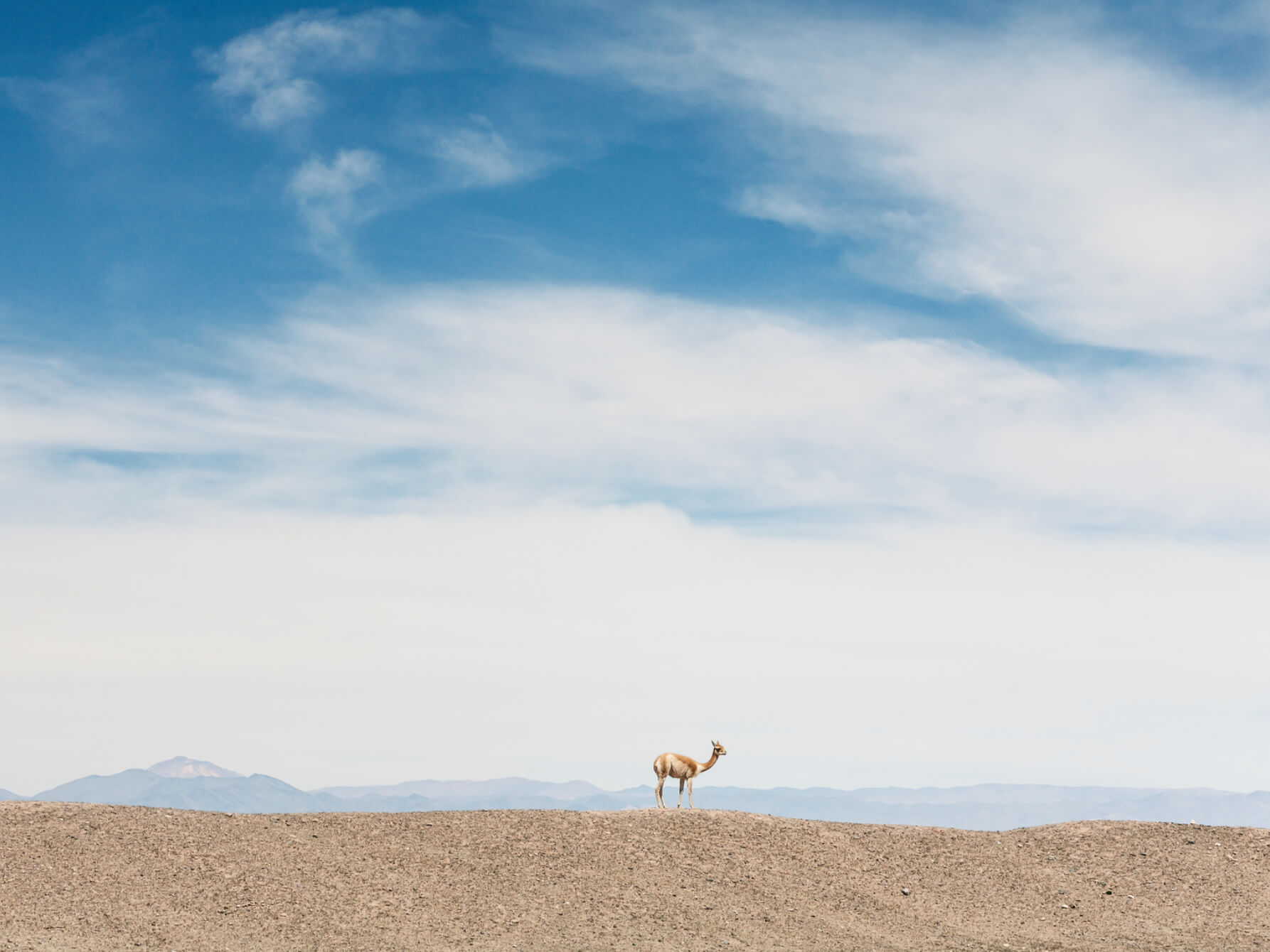A Vicuna in the wildeness